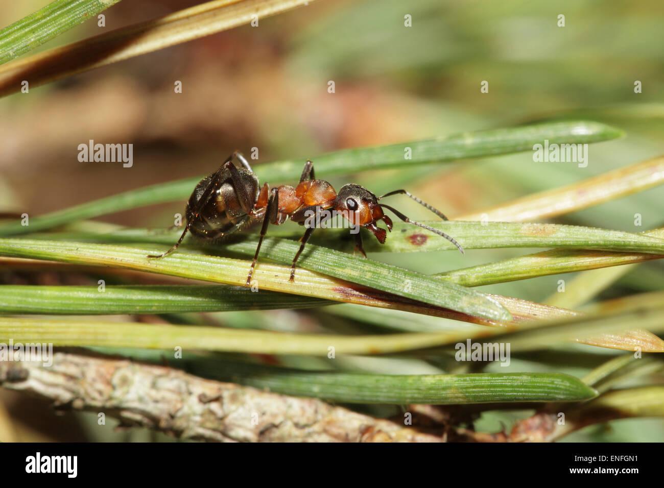 Wood ant - Formica rufa - Stock Image