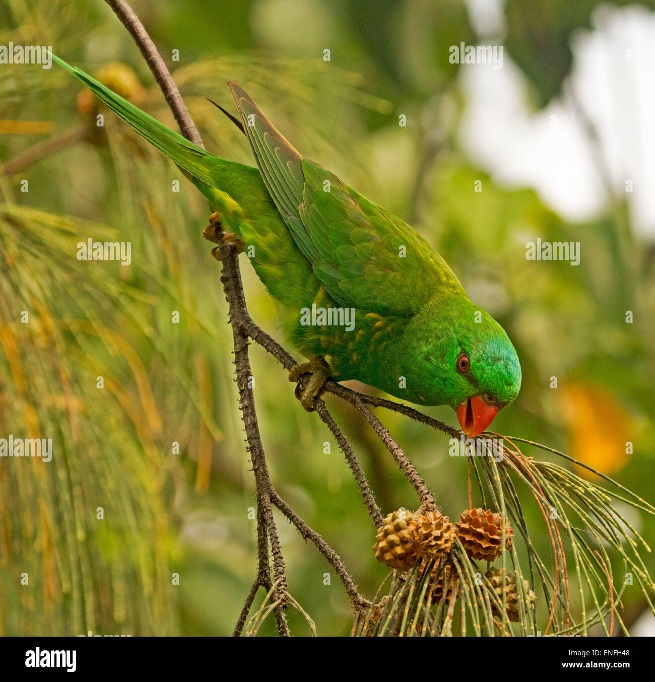 Scaly breasted lorikeet, Trichoglossus chlorolepidotus, in the wild feeding on seeds of coastal she oak tree in - Stock Image