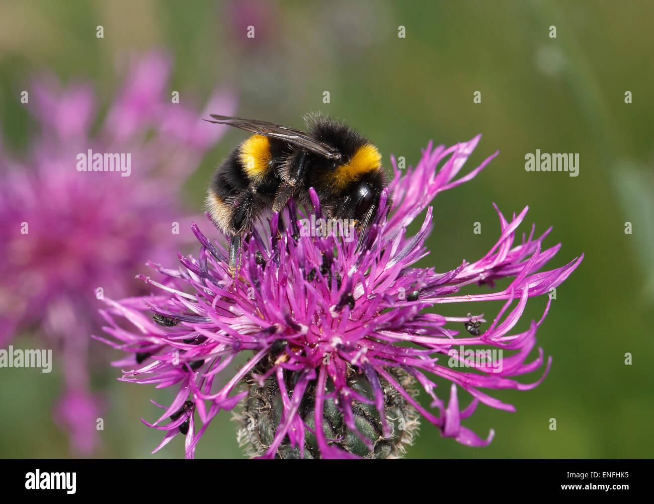 Cuckoo Bumblebee - Bombus sylvestris - Stock Image