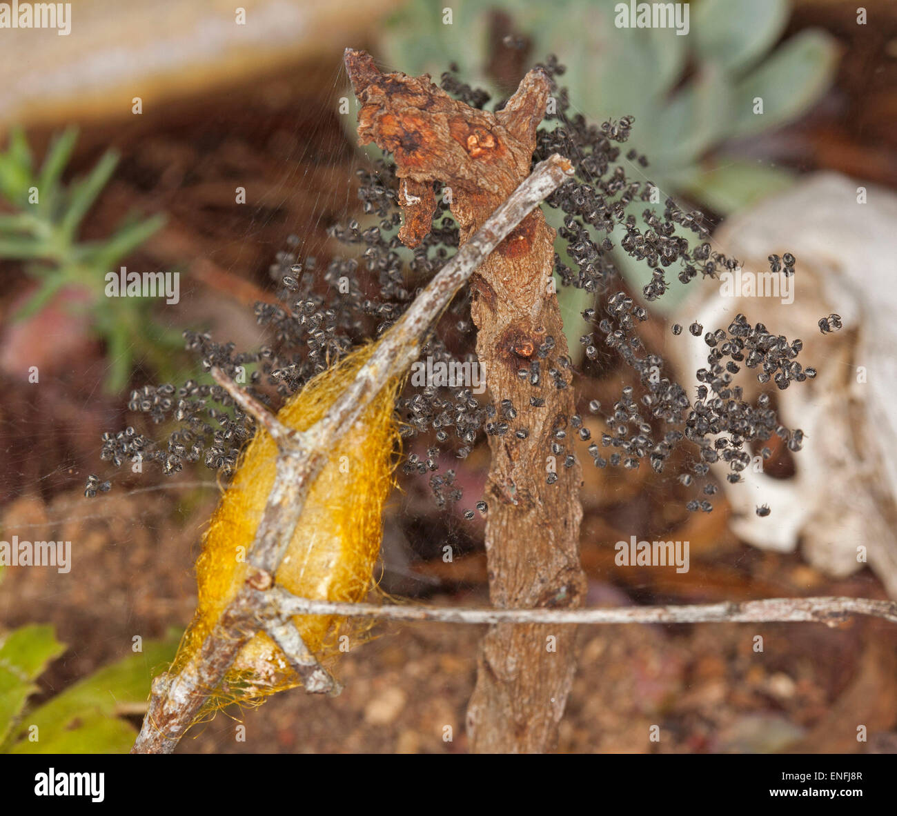 Hordes of tiny black spiderlings beside spider's egg sac woven with golden yellow silk and from which they had - Stock Image