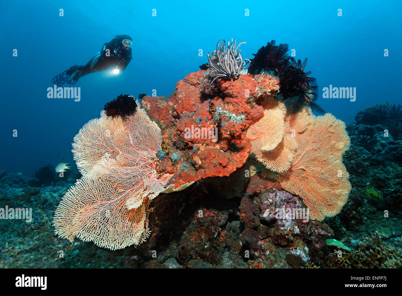Diver looking at coral reef with various corals, sponges and crinoids, Bali - Stock Image