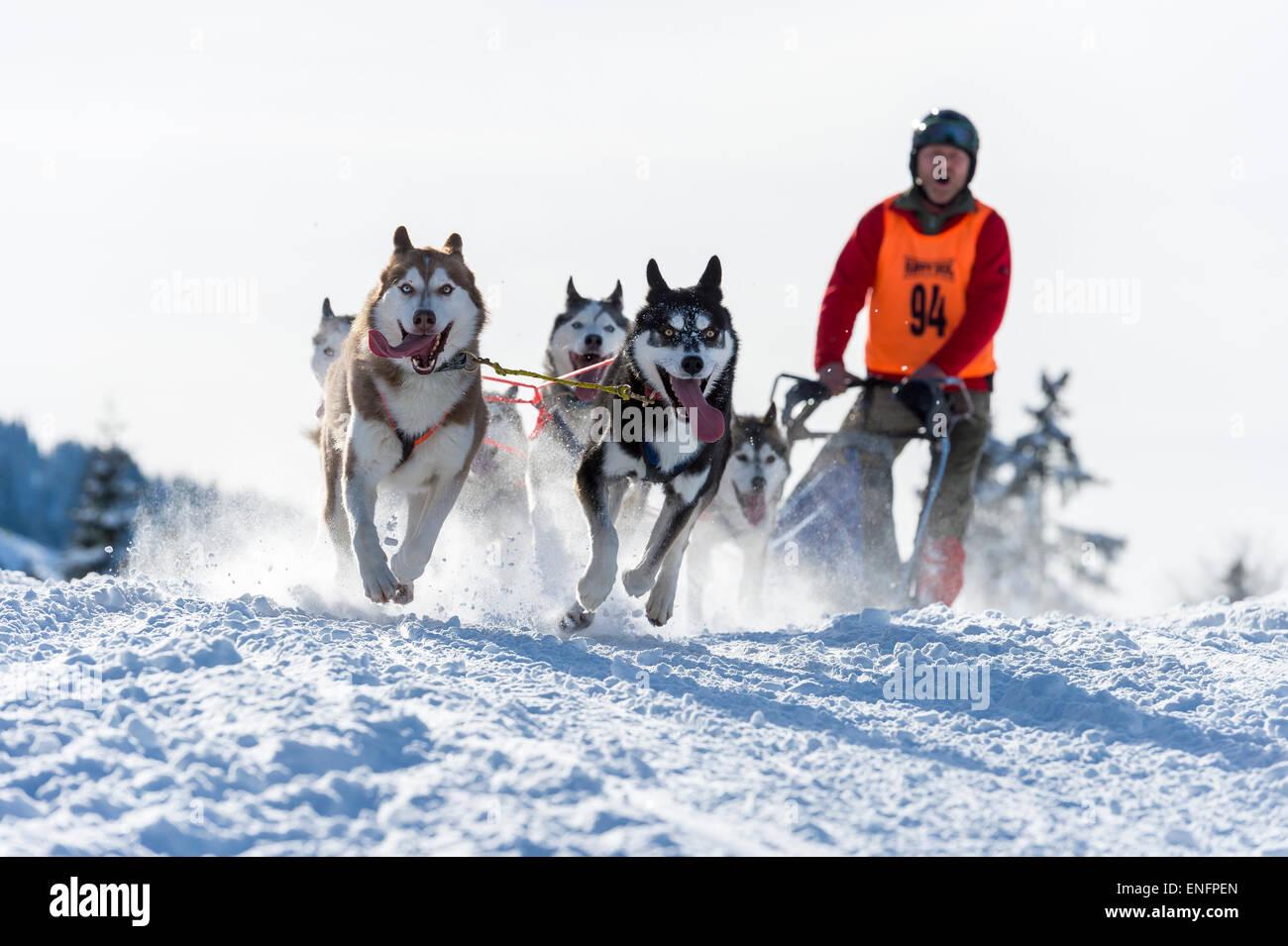 Sled dog racing, sled dog team in winter landscape, Unterjoch, Oberallgäu, Bavaria, Germany - Stock Image