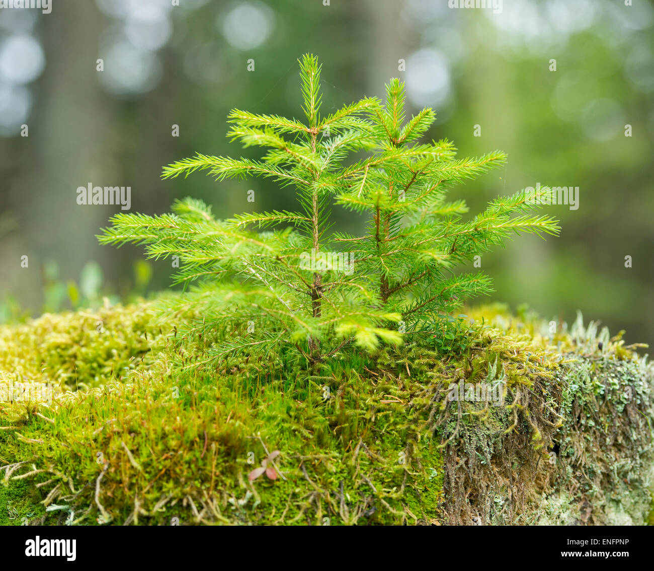 Young Norway Spruce trees (Picea abies), growing on moss, Harz National Park, Lower Saxony, Germany - Stock Image