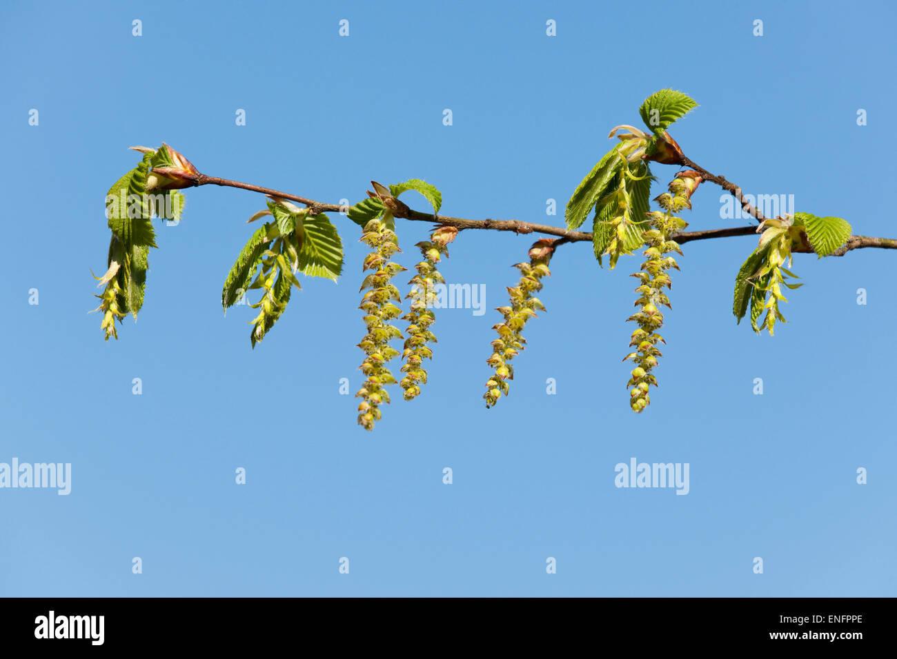 European Hornbeam (Carpinus betulus), female flowers and male catkins, Lower Saxony, Germany - Stock Image