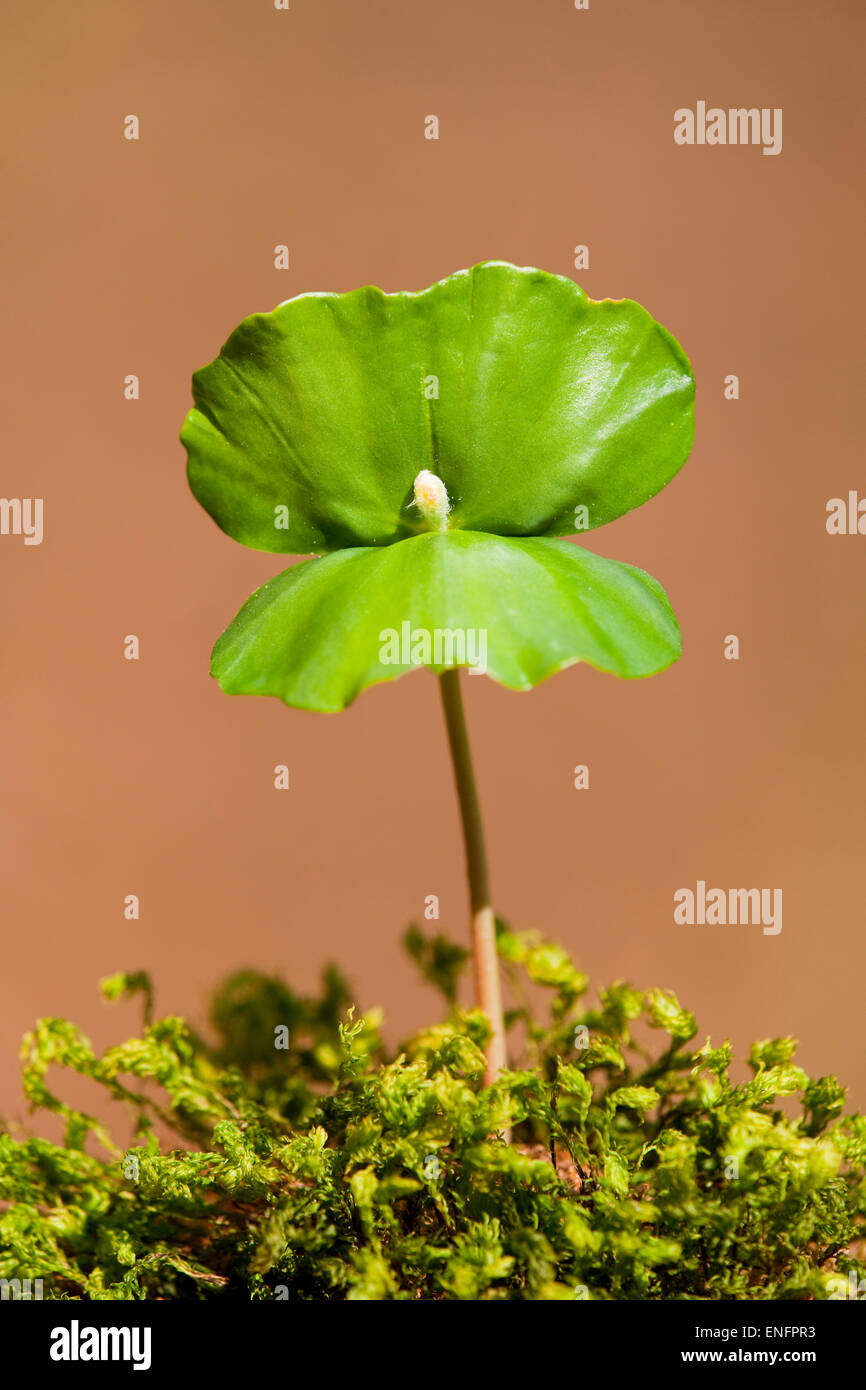 European beech (Fagus sylvatica), seedling, Lower Saxony, Germany - Stock Image
