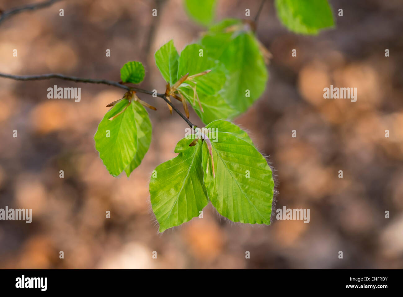 Young leaves of a beech tree (Fagus sylvatica), Burgenland, Austria - Stock Image