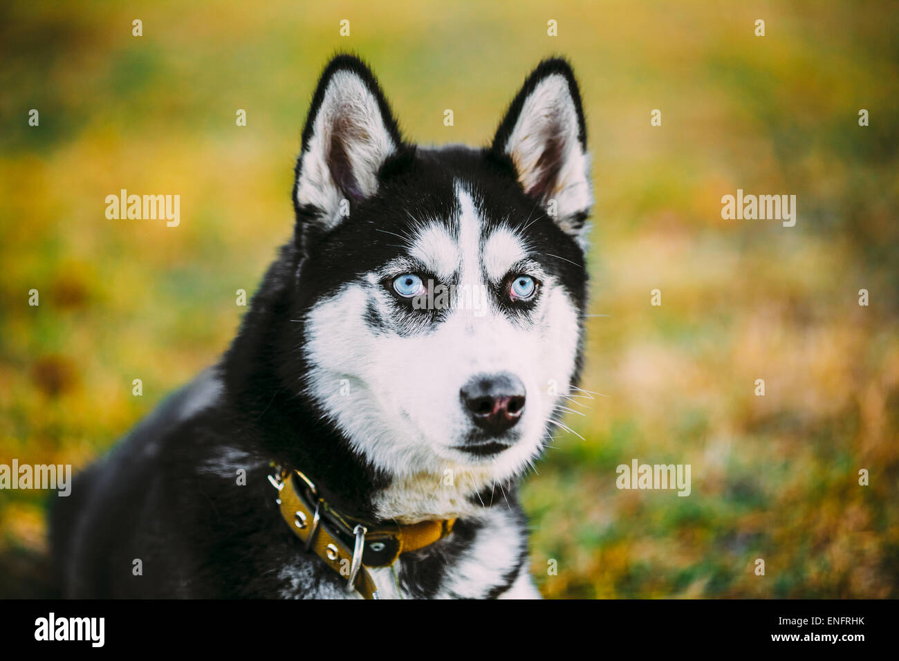 Young Happy Husky Puppy Eskimo Dog Sitting In Grass Outdoor - Stock Image
