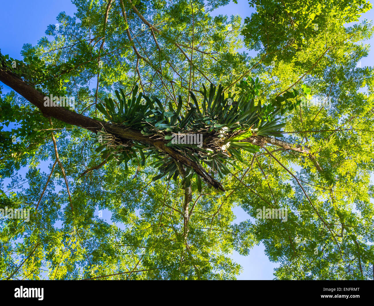 Lianas in the trees at Frenchmans Cove, Drapers, Portland region, Jamaica - Stock Image