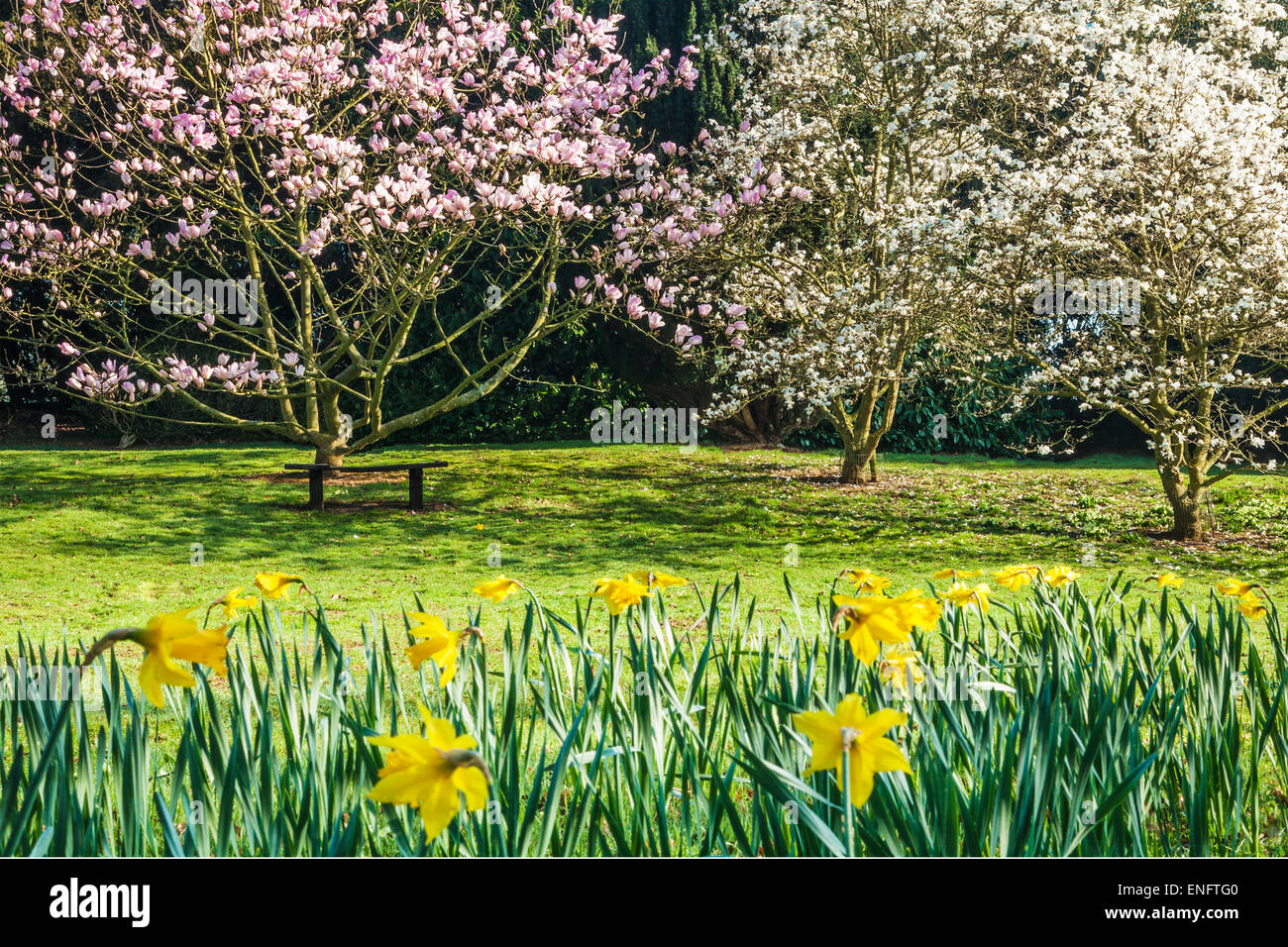 Magnolias Trees Blossoming Stock Photos & Magnolias Trees Blossoming ...