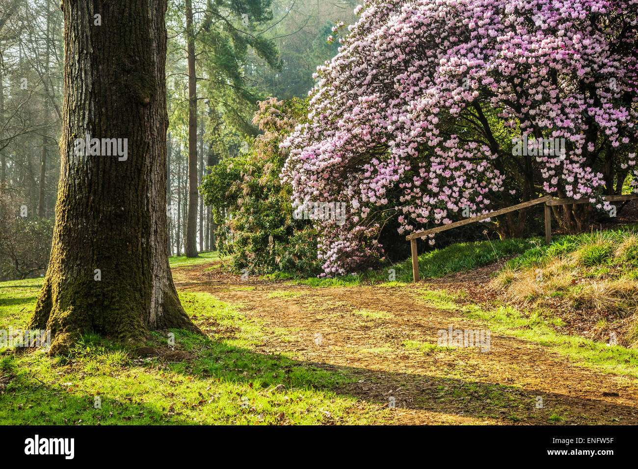Rhododendron oreodoxa var. fargesii at the Bowood Estate in Wiltshire. - Stock Image