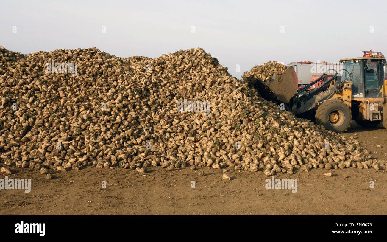 Harvesting and collecting sugar beet - Stock Image