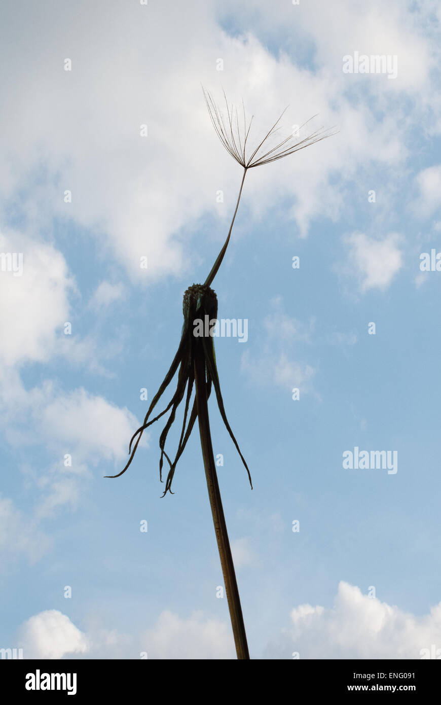 single last lonely seed head on old dandelion flower waiting to be blown off and its all over no more - Stock Image