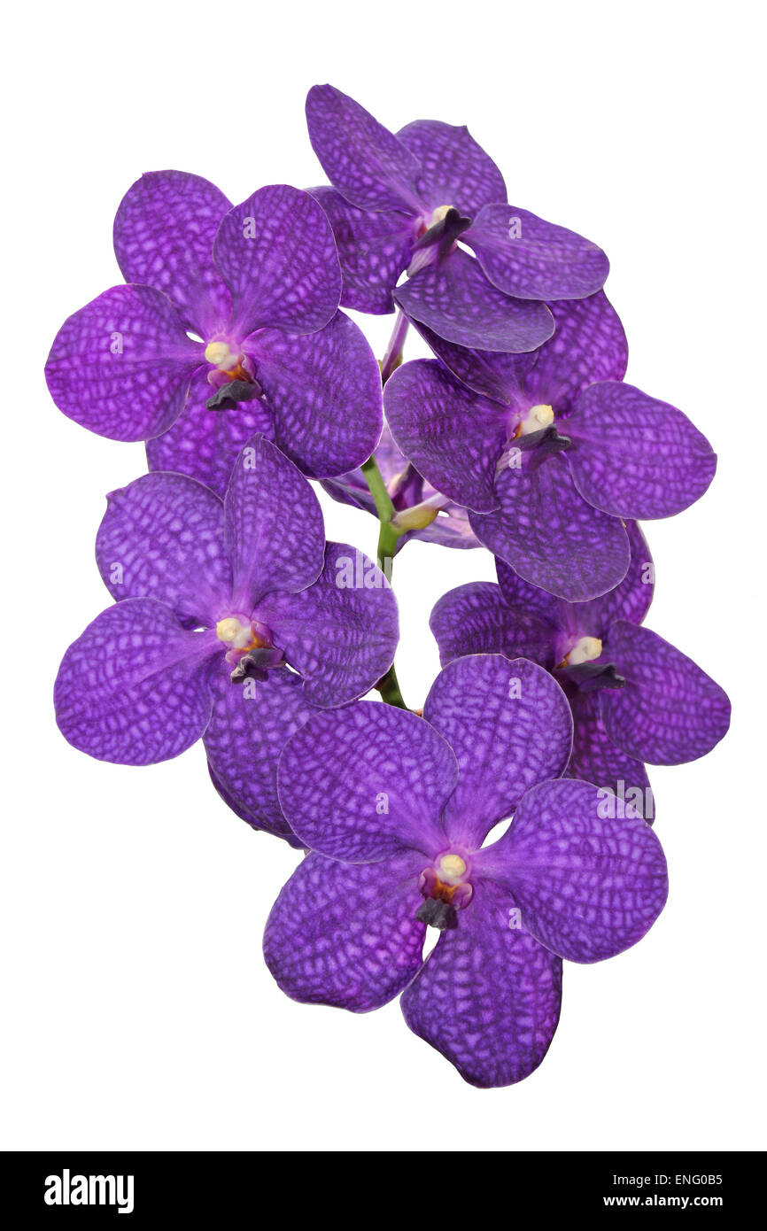 Violet Vanda Orchid Cut Out - Stock Image