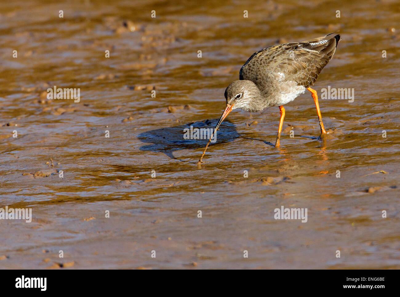 Redshank, (Tringa totanus). Pulling ragworm out of the mud. Chevalier gambette.  Rotschenkel. Archibebe común - Stock Image