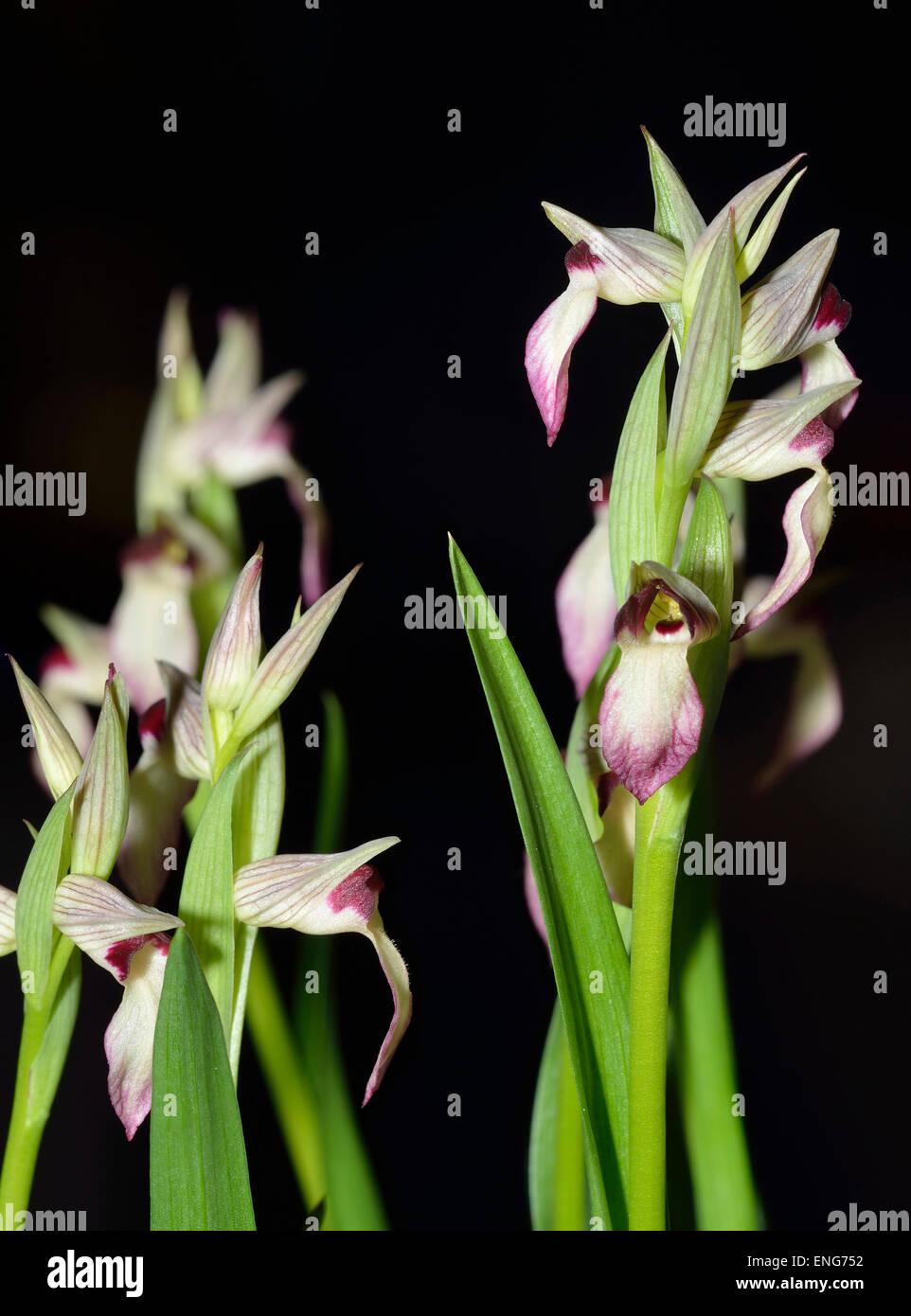 Tongue Orchid - Serapias lingua White form - Stock Image