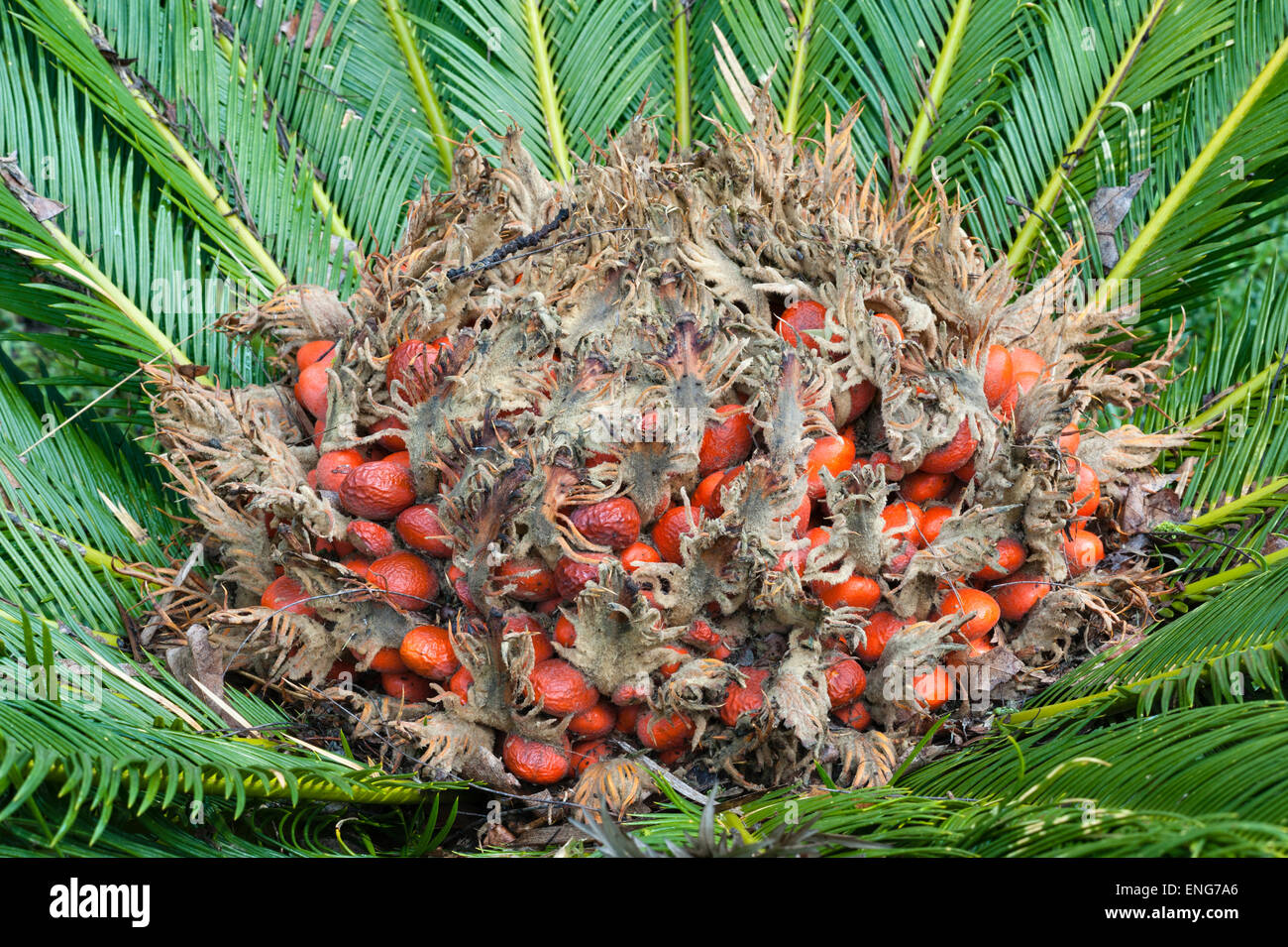 The gardens of Il Biviere, Catania, Sicily, Italy. The toxic seeds of a cycad (cycas revoluta) - Stock Image