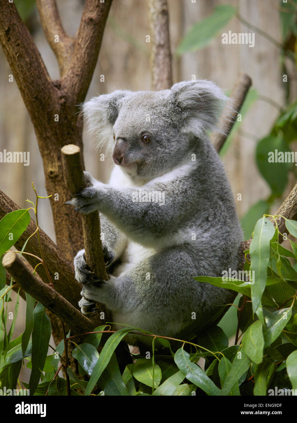 Koala in the Duisburg Zoo, Germany. There only are about 140 koalas outside of Australia, mainly because of their - Stock Image