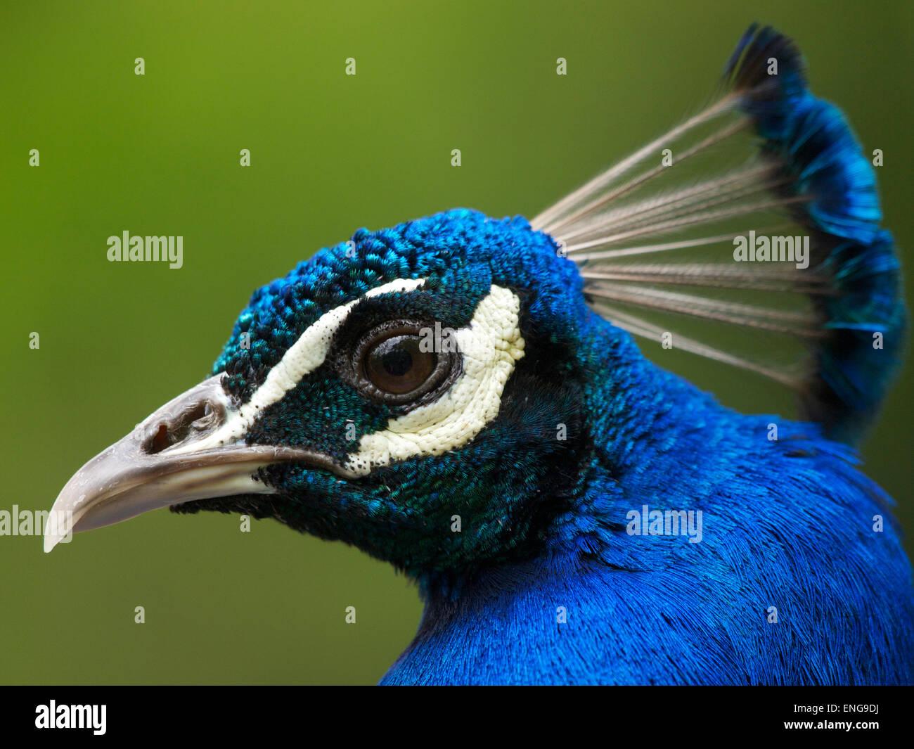 Peacock portrait Duisburg Germany - Stock Image