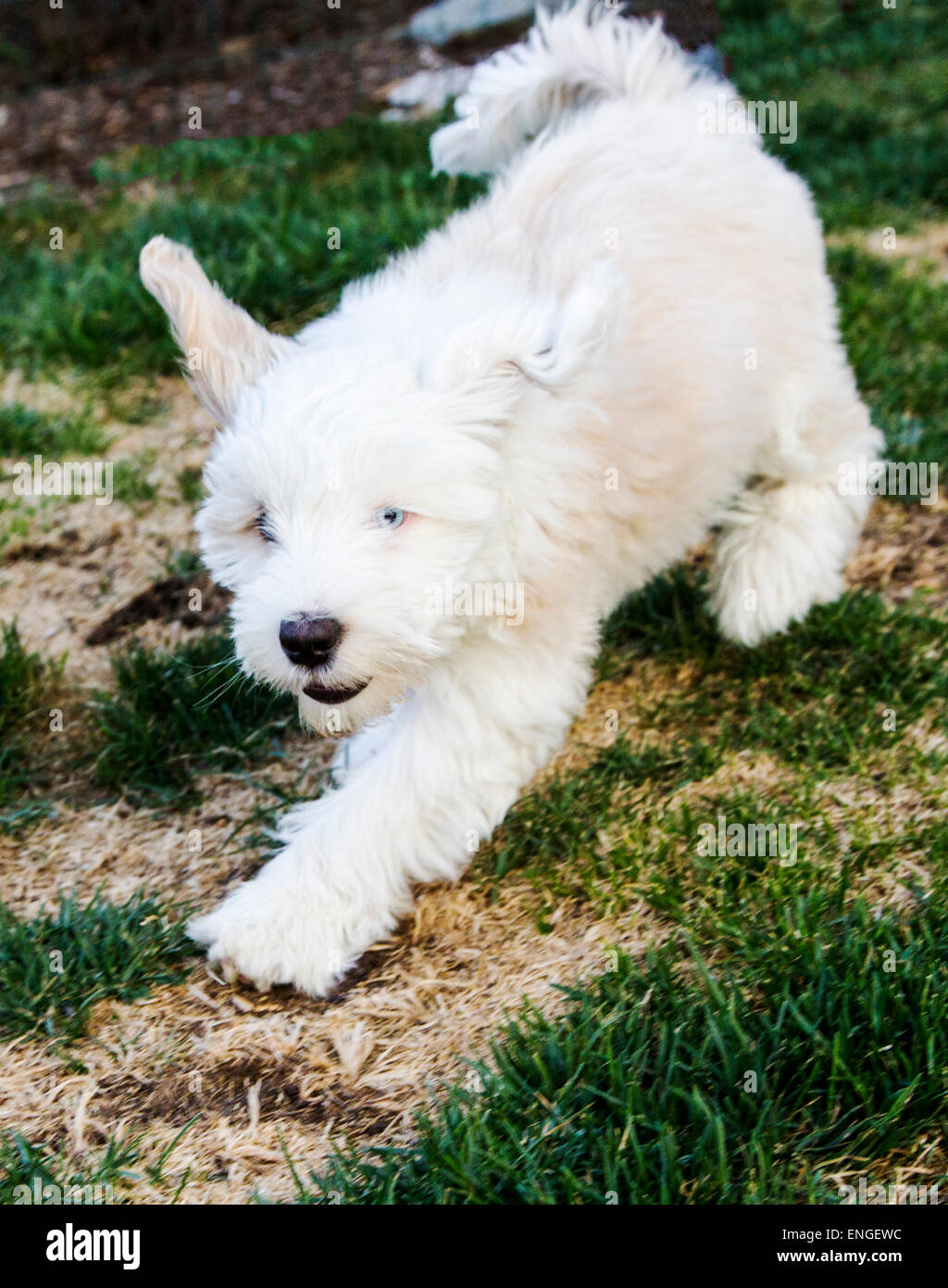 Tibetan terrier puppy playing in grassy garden - Stock Image