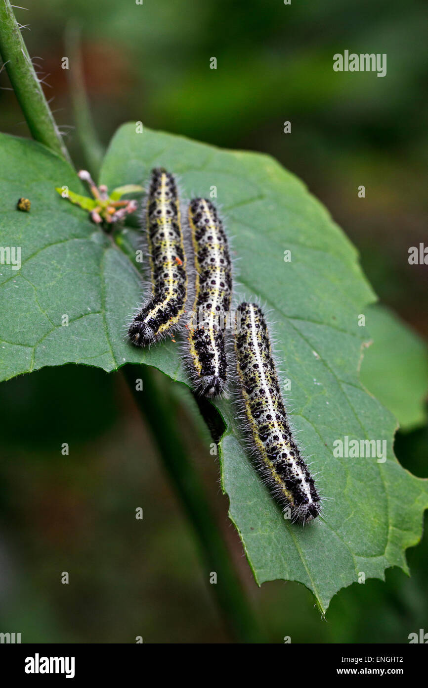 Caterpillars of large white butterfly (Pieris brassicae) eating leaf - Stock Image