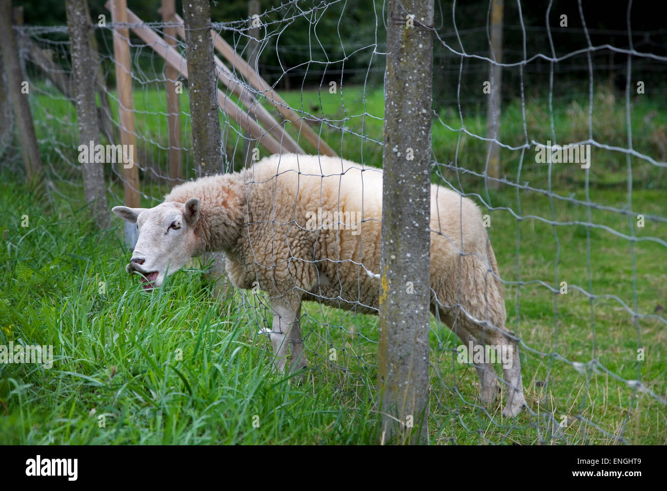 Hungry white domestic sheep sticking head through wire fence to graze on juicy long grass in meadow - Stock Image
