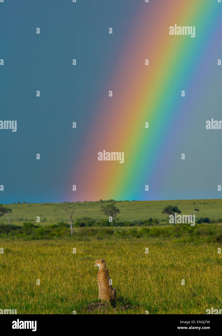 Cheetah (Acinonyx Jubatus) In Front Of A Rainbow, Rift Valley Province, Maasai Mara, Kenya Stock Photo