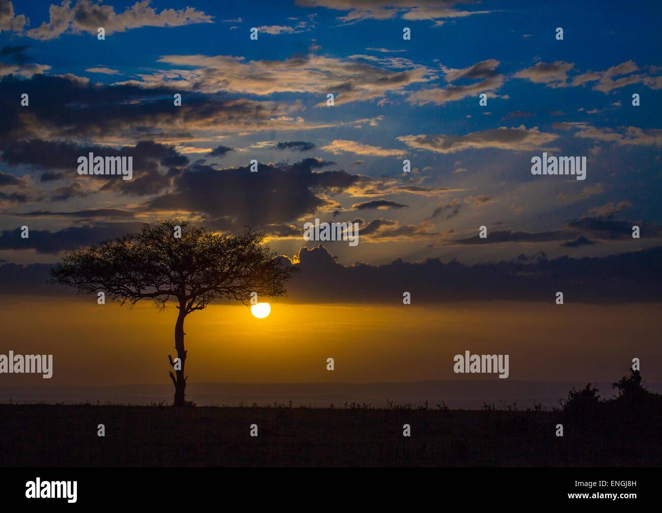 Umbrella Thorn Acacia At Sunset, Rift Valley Province, Maasai Mara, Kenya Stock Photo