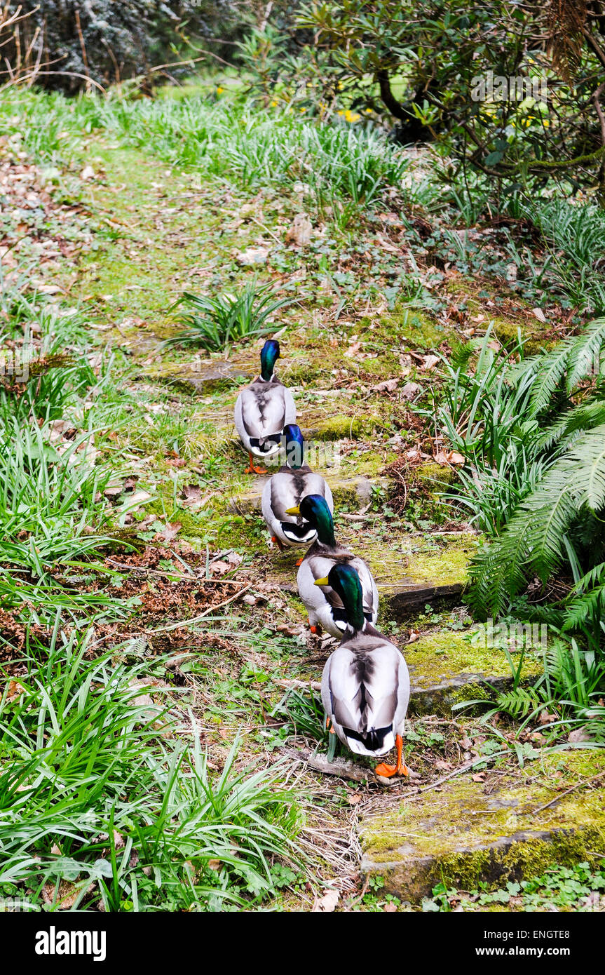 Four male mallard ducks walkin up steps through a forest in a line - Stock Image