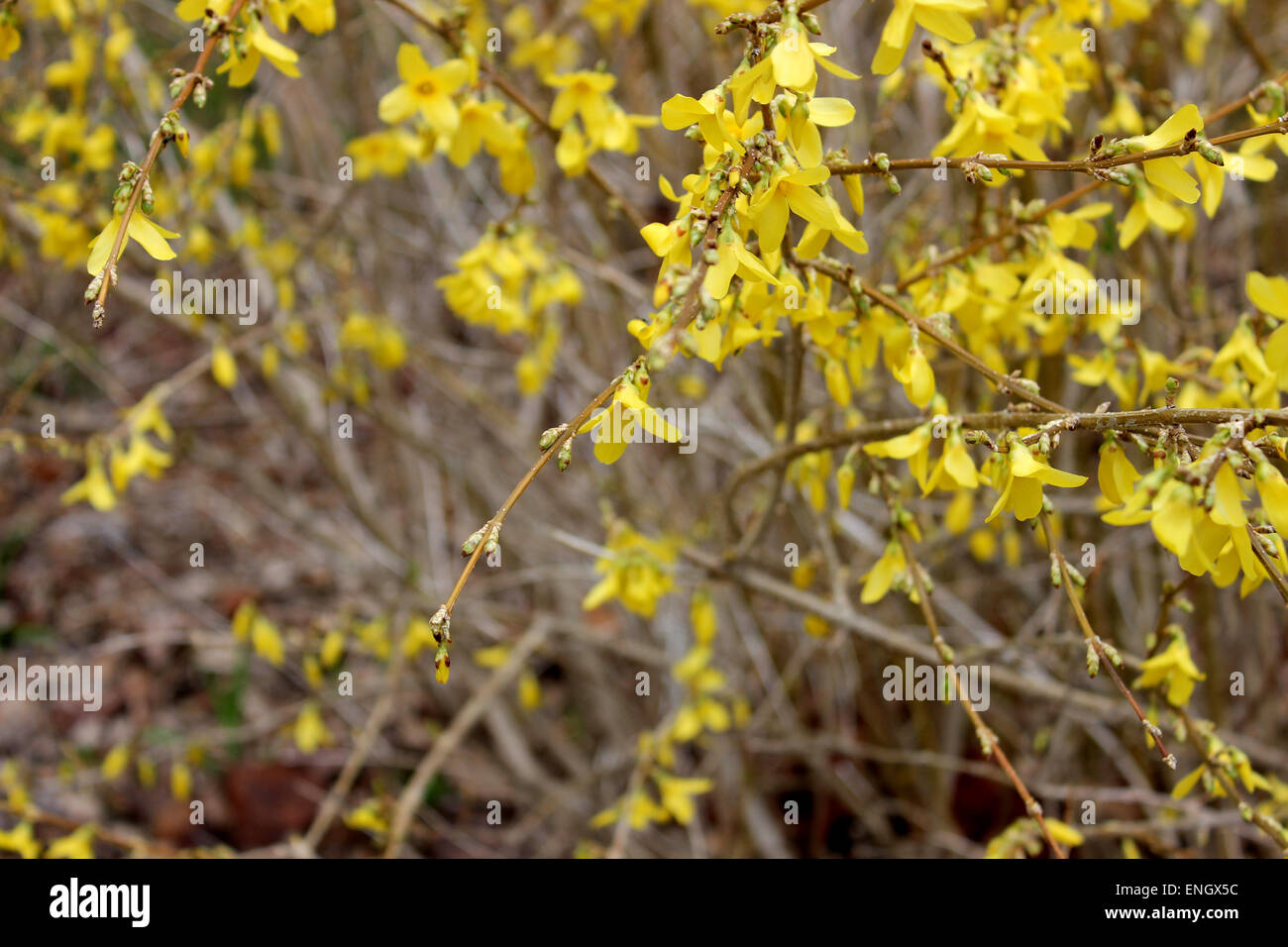 Detail of a yellow flowering bush in a spring in canada stock photo detail of a yellow flowering bush in a spring in canada mightylinksfo