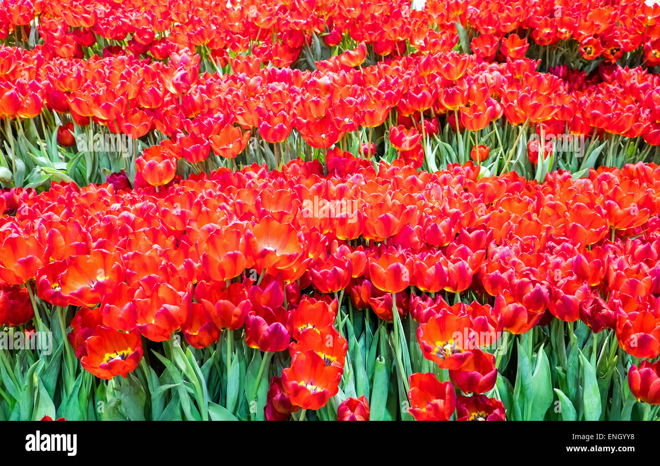 Many Beautiful Tulip Flowers Seen In A Garden Stock Photo 82122412