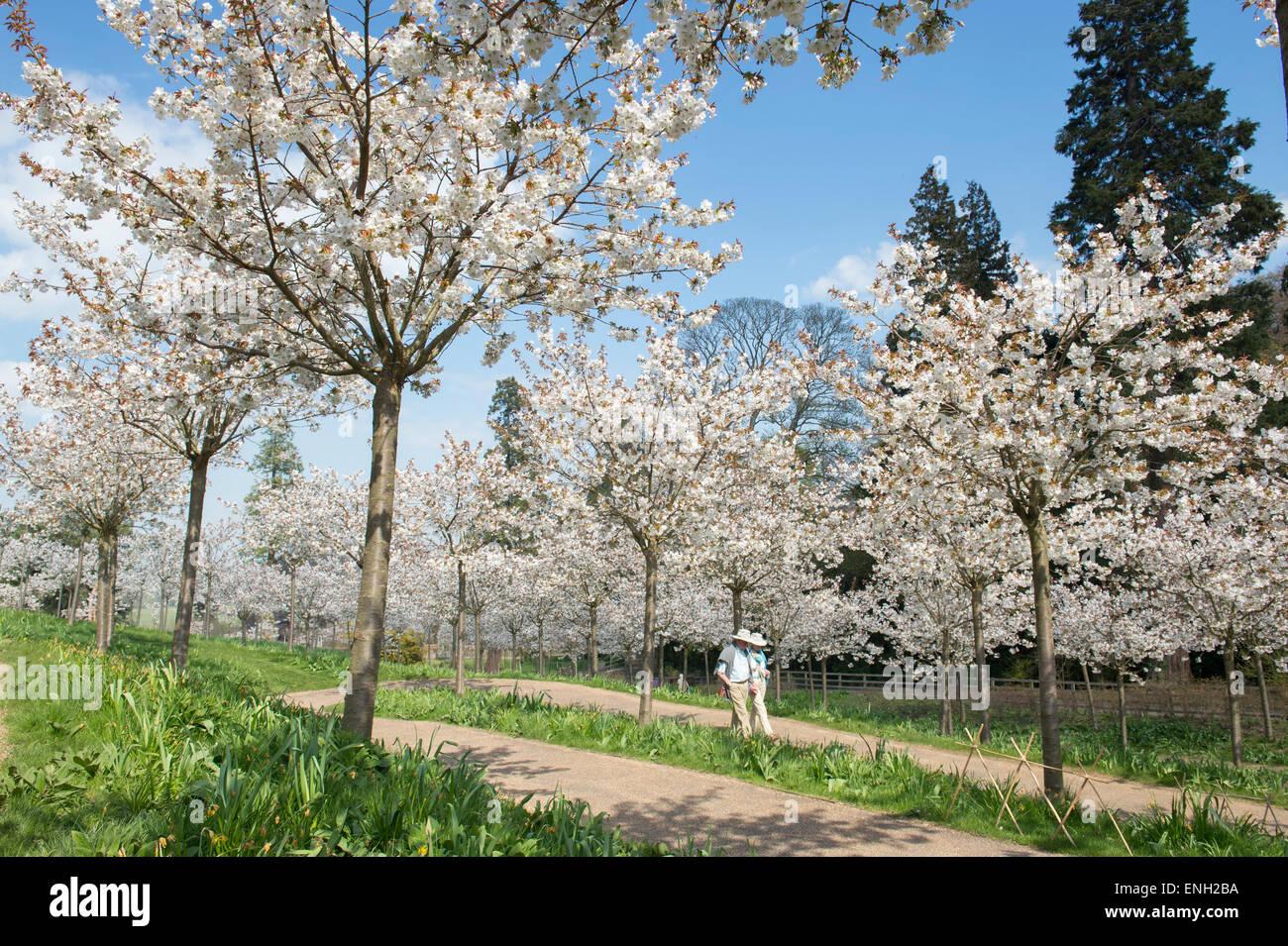 Prunus serrulata Tai Haku. Great white cherry tree orchard at Alnwick Gardens, Northumberland, England - Stock Image