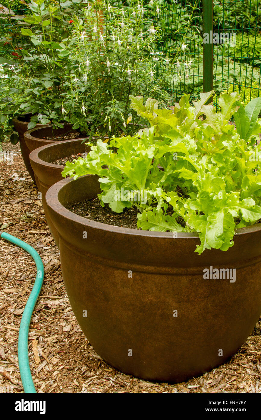 Growing Lettuce Container Stock Photos & Growing Lettuce Container ...