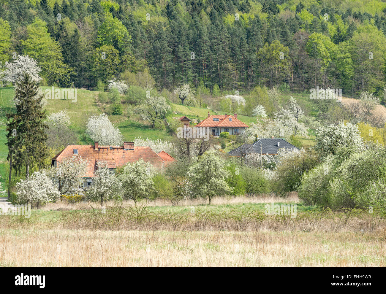 Village in the spring blooming cherry trees fields rising grain green forest - Stock Image