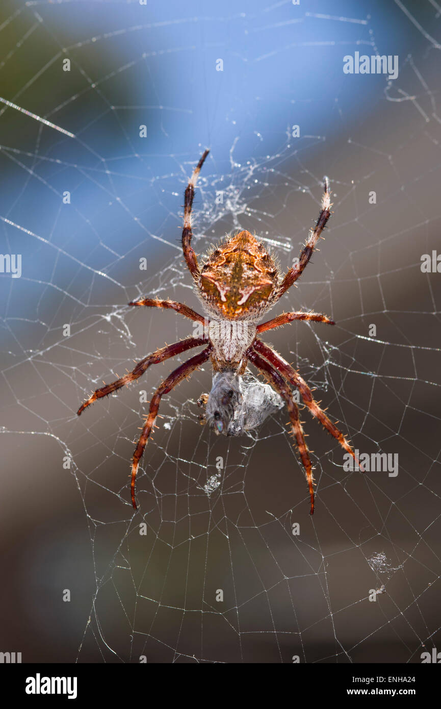 Garden orb-weaving spider - Stock Image