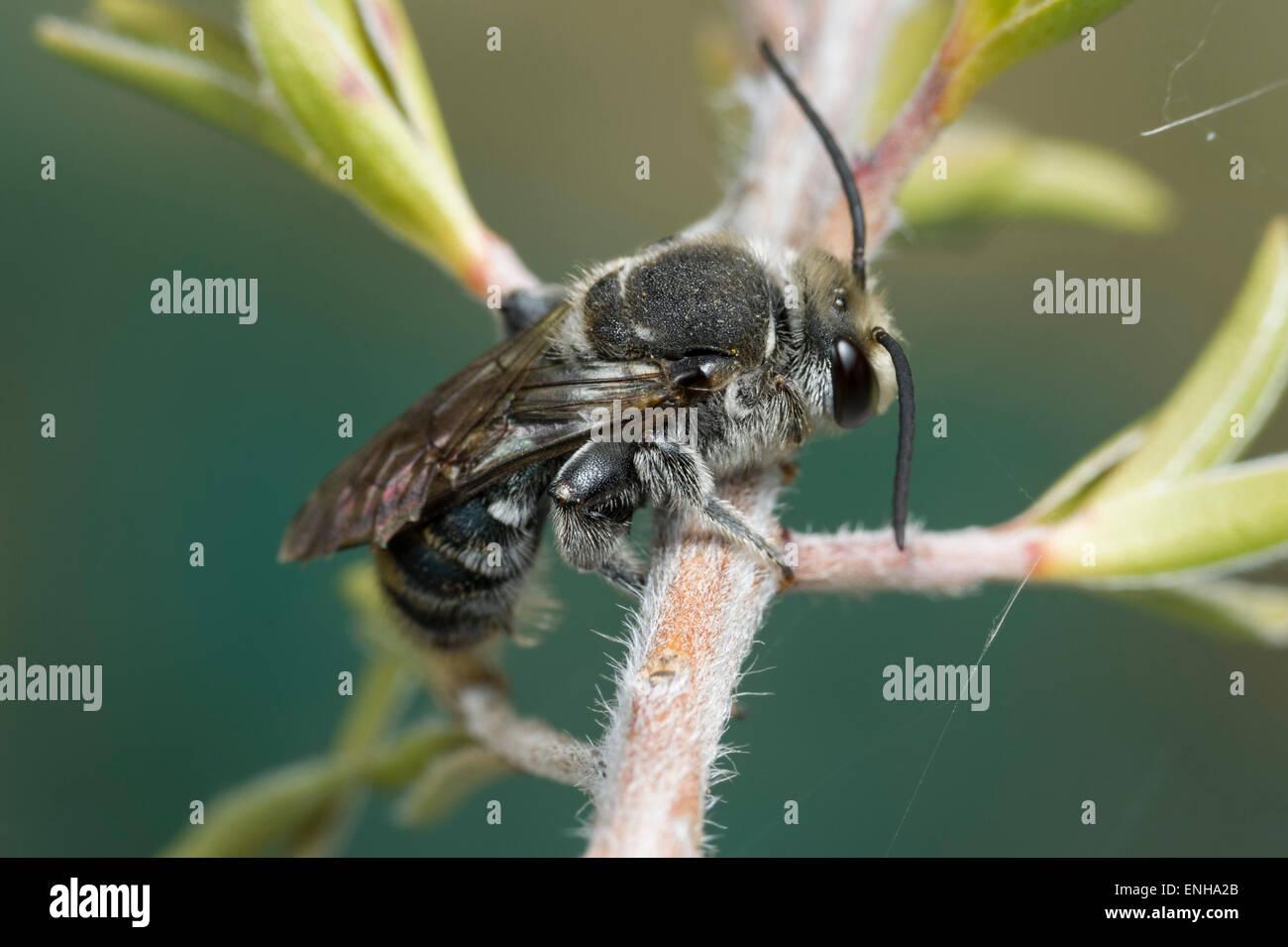 Australian native bee (Lipotriches australica) - Stock Image
