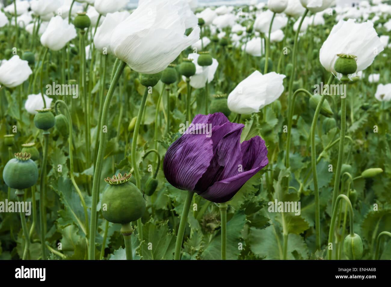Opium poppy field papaver somniferum turkey stock photo opium poppy field papaver somniferum turkey mightylinksfo