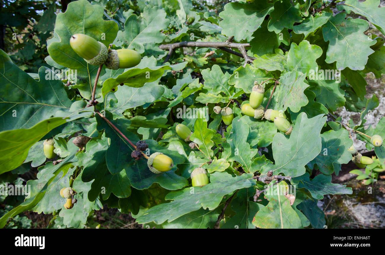 Acorns (Quercus robur) - Stock Image