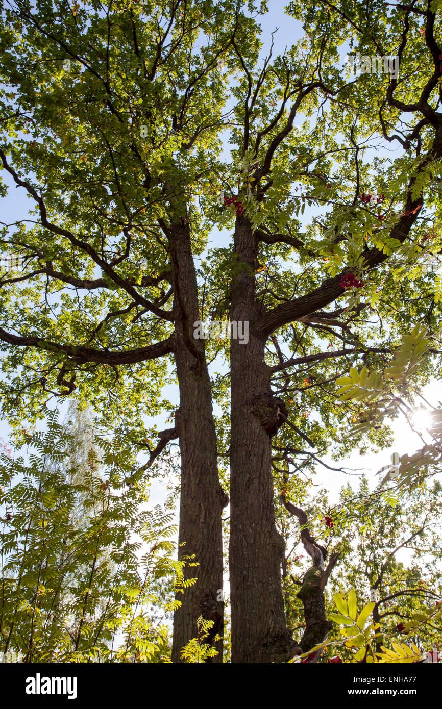 Oak trunks (Quercus robur) - Stock Image