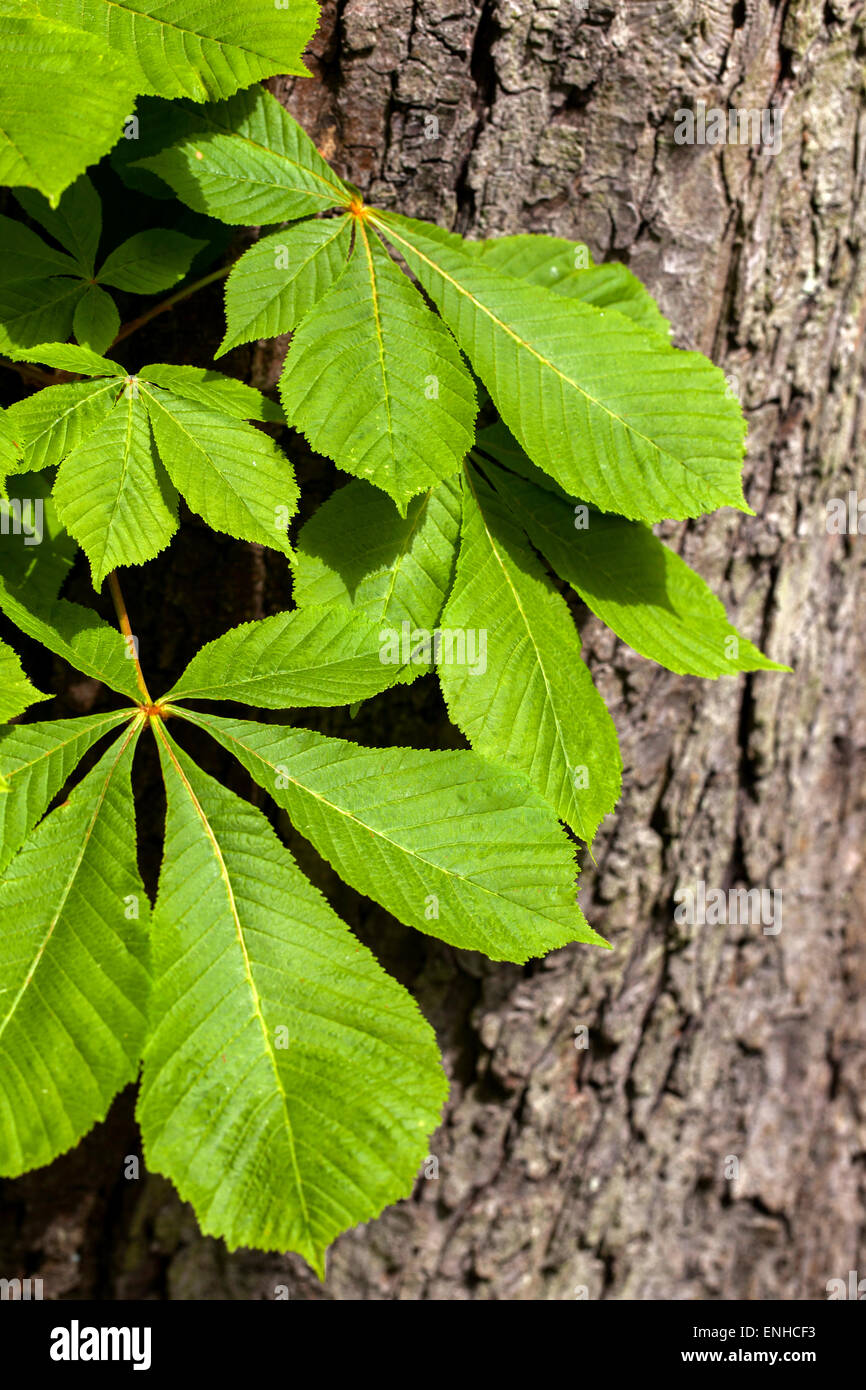 Horse chestnut leaves on a tree trunk - Aesculus hippocastanum, Czech Republic - Stock Image