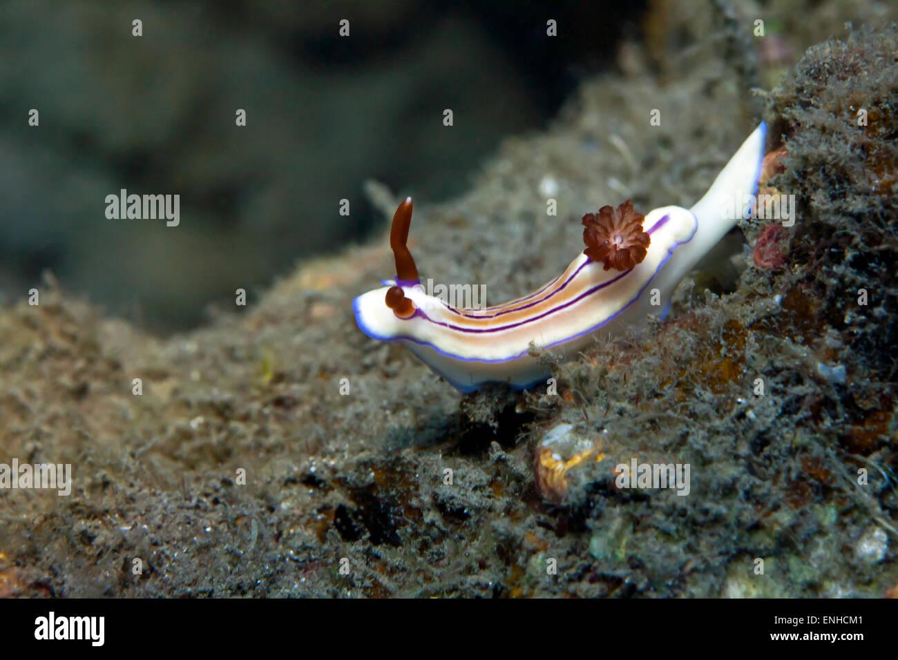 Magenta-striped nudibranch (Hypselodoris maridadilus), Bali, Indonesia - Stock Image