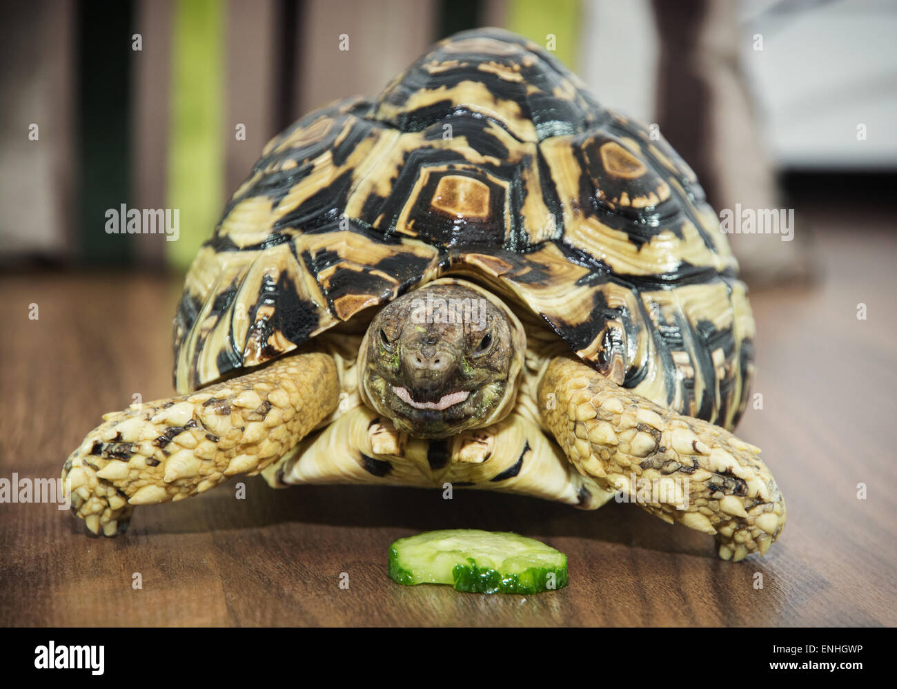 Beautiful Leopard tortoise (Geochelone pardalis) is feeding. Animal theme. - Stock Image