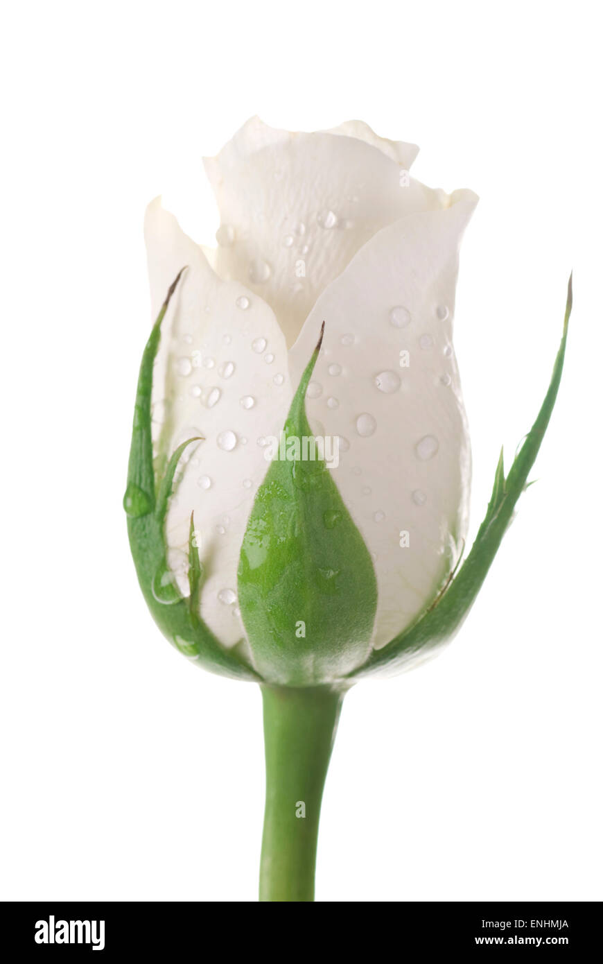 White rose with drops on white background. - Stock Image