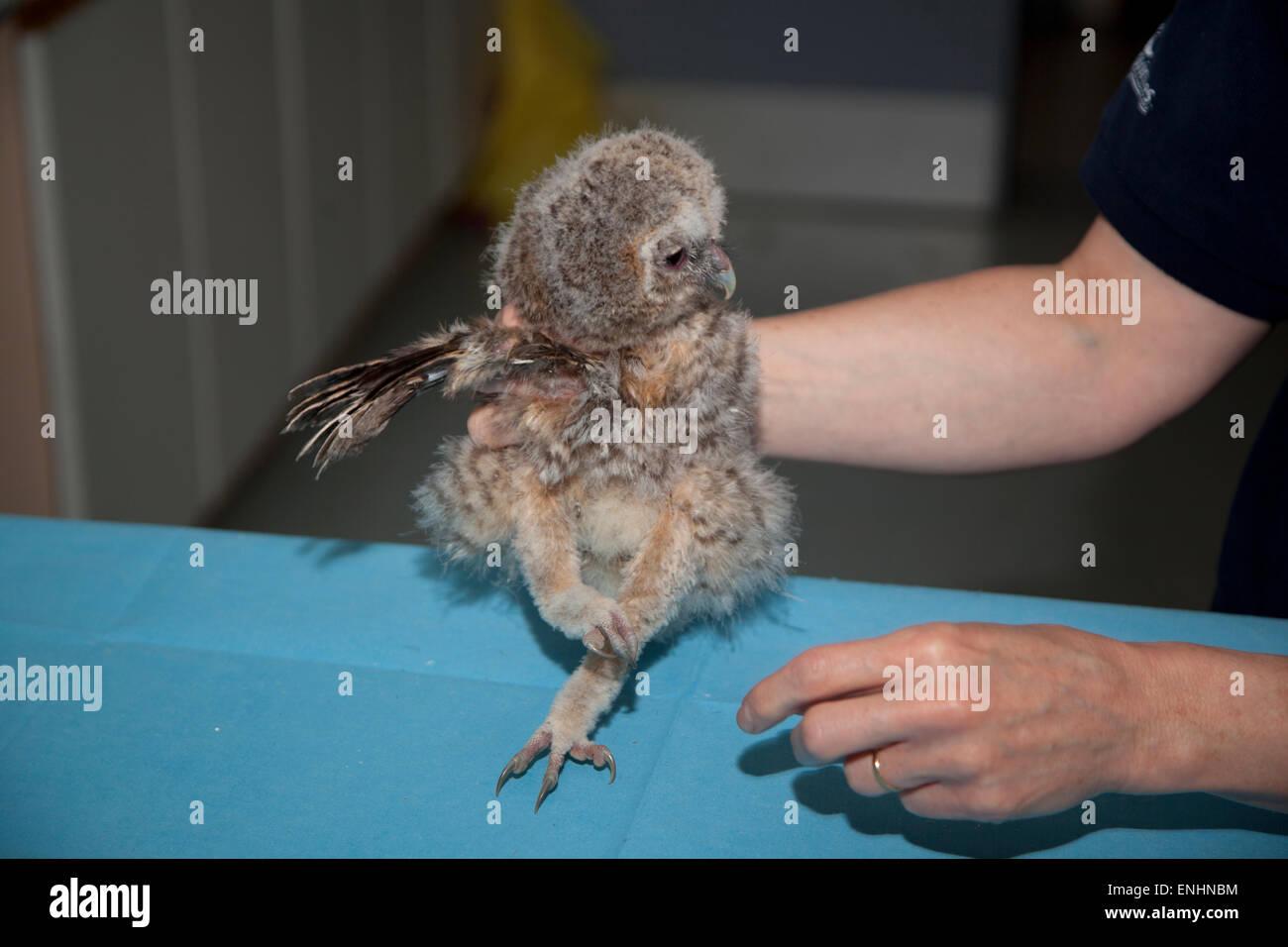 Juvenile Tawny Owl with injured wing - Stock Image