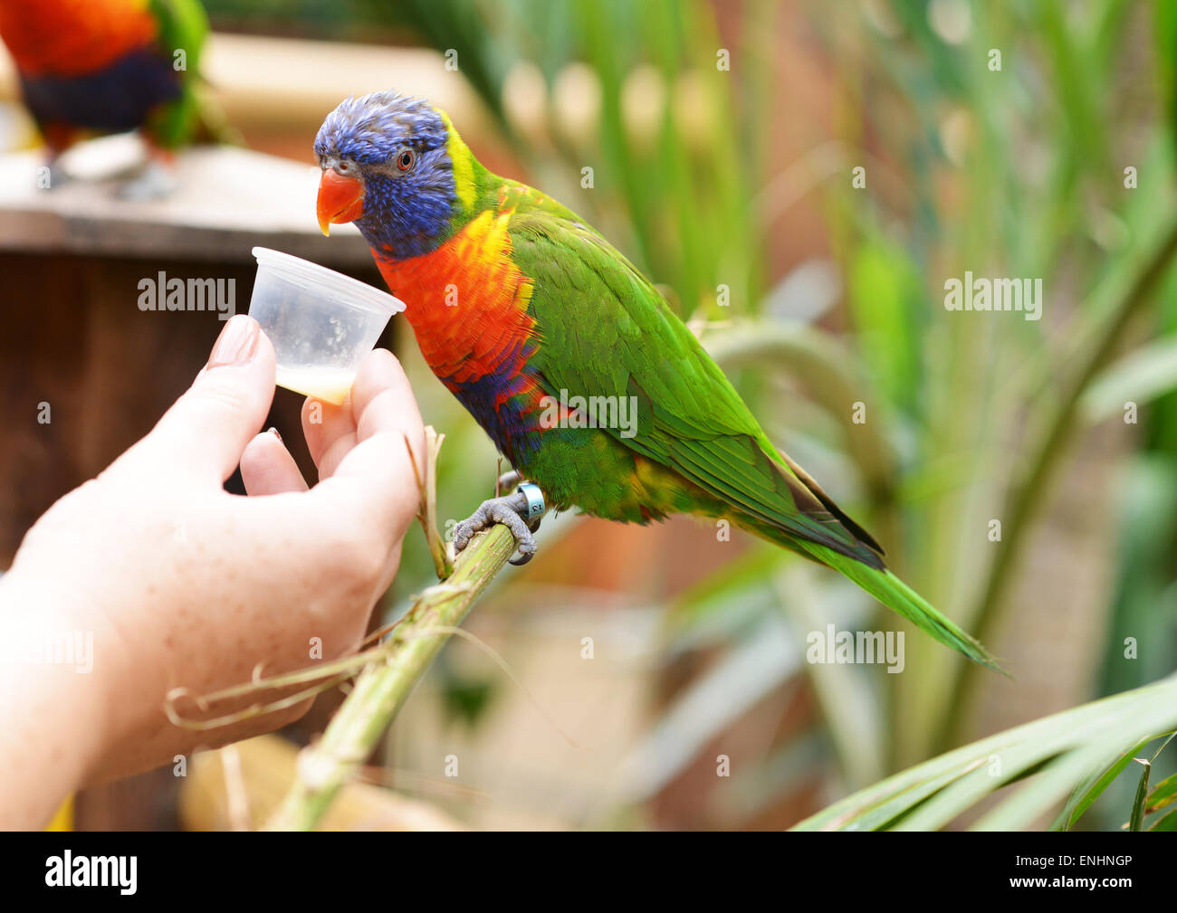 Rainbow Lorikeet being hand fed nectar in Colchester Zoo, Essex - Stock Image