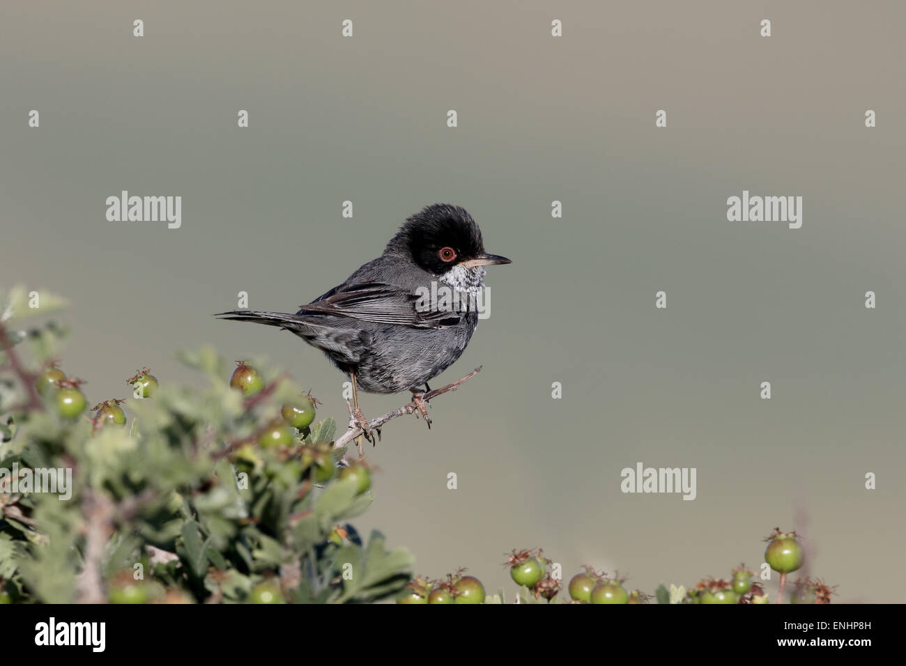 Cyprus warbler, Sylvia melanothorax, single male on perch, Cyprus, April 2015 Stock Photo