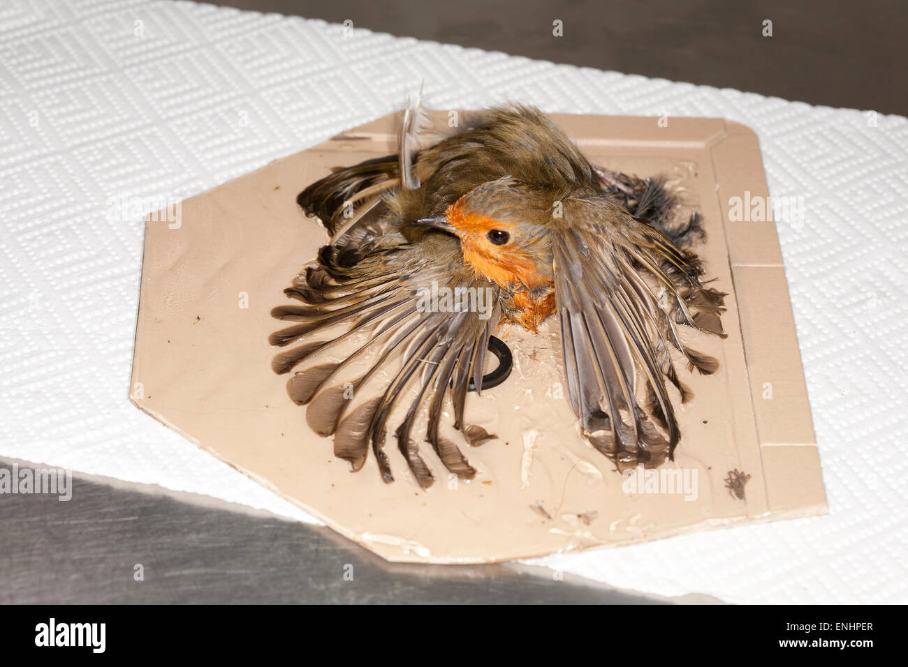 European Robin stuck on fly paper - Stock Image