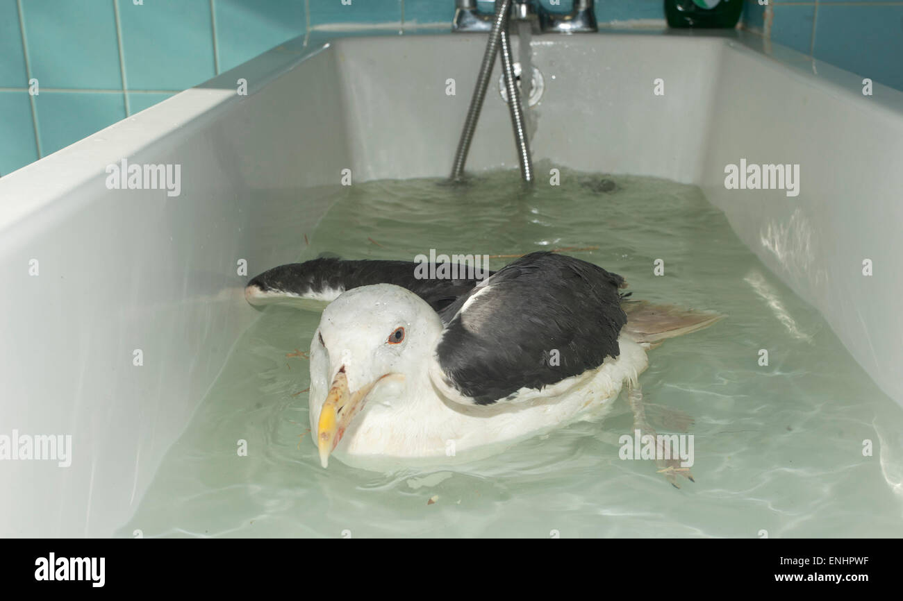 Great black-backed Gull receiving hydrotherapy - Stock Image