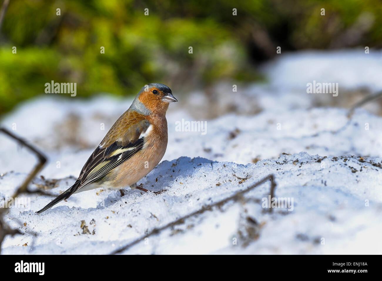 chaffinch, fringilla coelebs - Stock Image