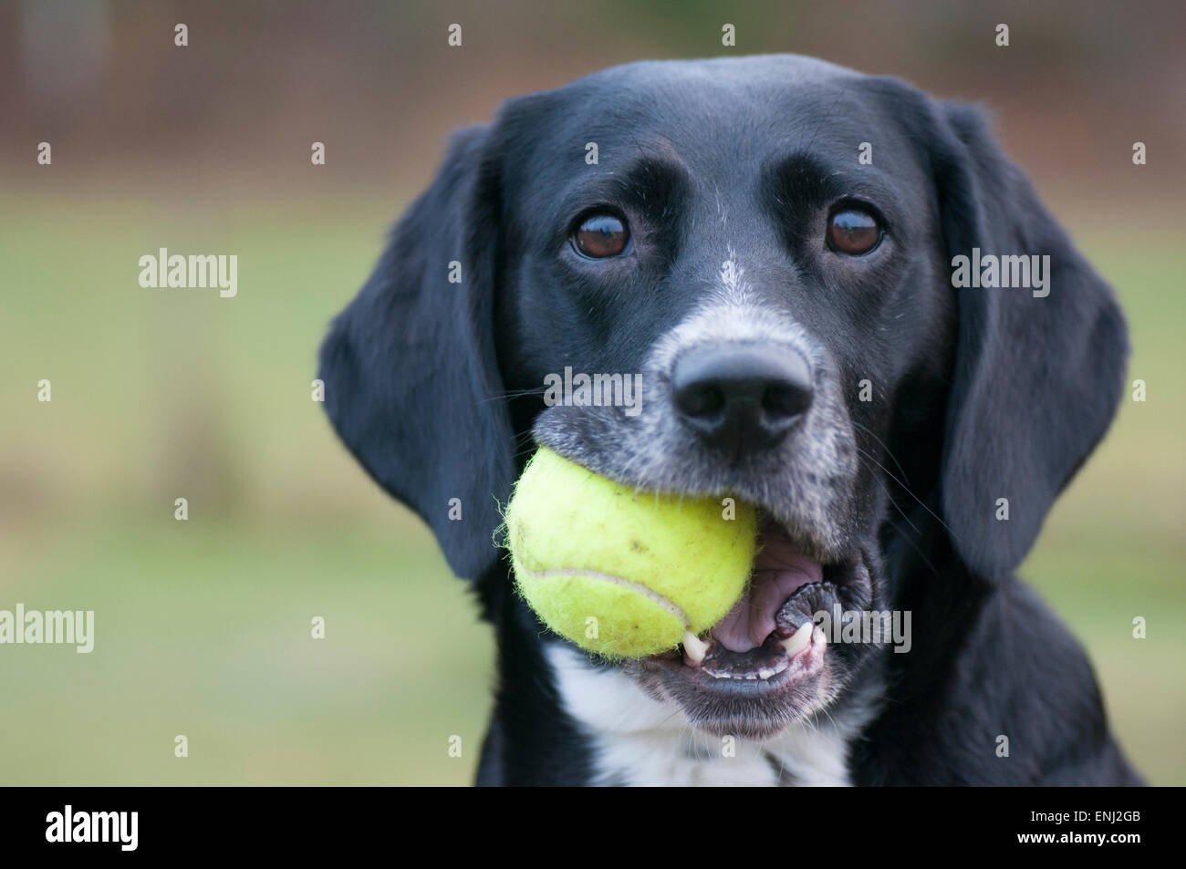Lisa - mixed-breed dog playing with a tennis ball. - Stock Image