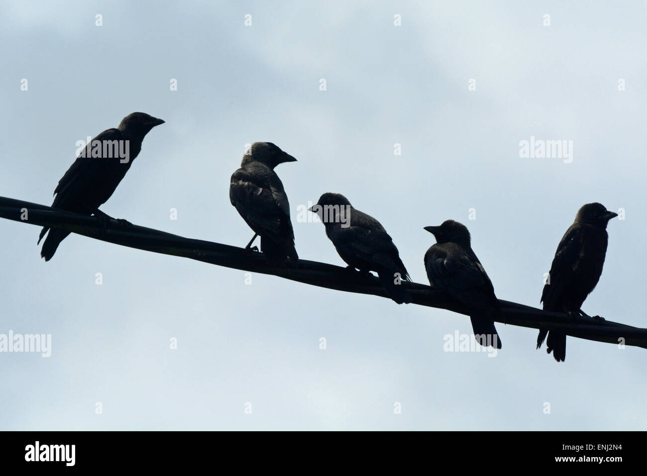 Why Can Birds Sit On Telephone Wires Wire Center Proton Aa1660 Solid State Amplifier Crows Sitting A Stock Photo 82146544 Alamy Rh Com Two